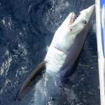 Shark caught on a game fishing charter off Sydney.